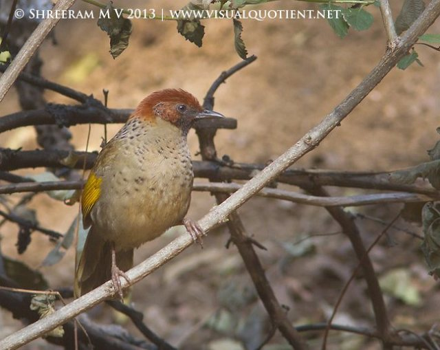 chestnutcrowned_laughingthrush__31jan2013__kakragad
