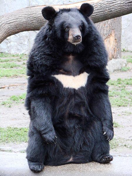 الدب الأسود الآسيوي 1