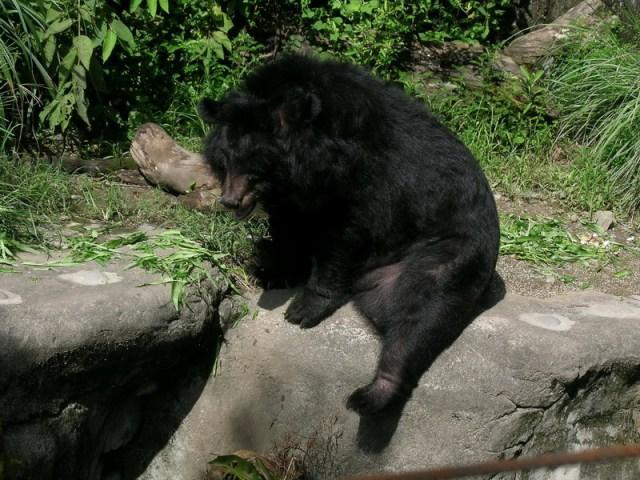 الدب الأسود الآسيوي