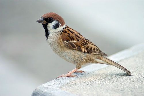 eurasian-tree-sparrow2