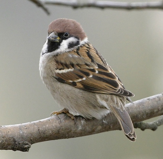 Eurasian_Tree Sparrow