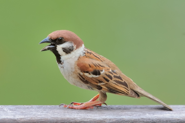 Eurasian_Tree_Sparrow
