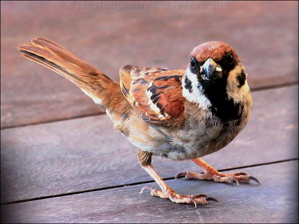 eurasian_tree_sparrow40735