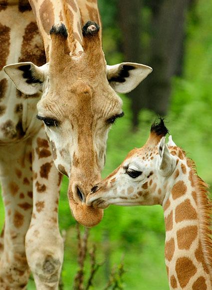 giraffe-bronx-zoo-picture-2