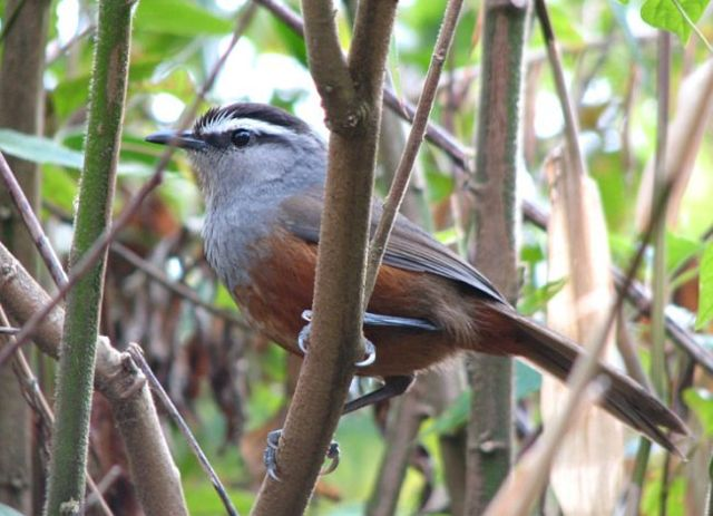 greybreasted_laughingthrush