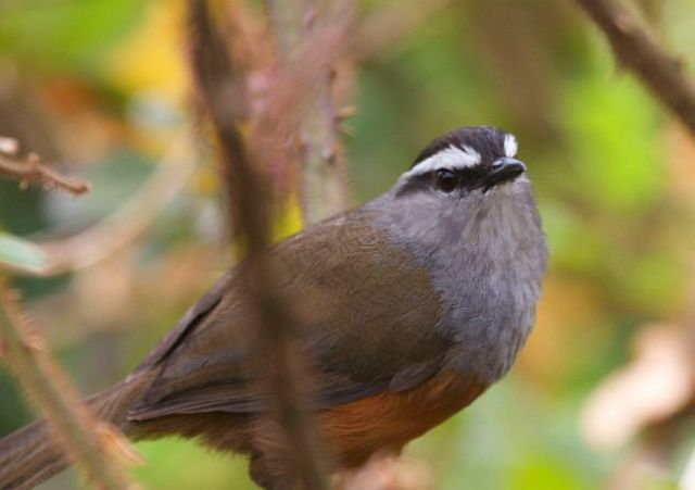 greybreasted_laughingthrush_4477rk