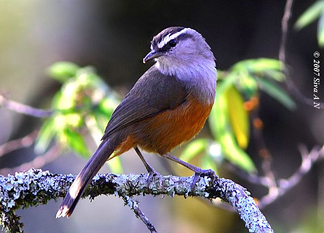 greybreasted_laughingthrush_sk