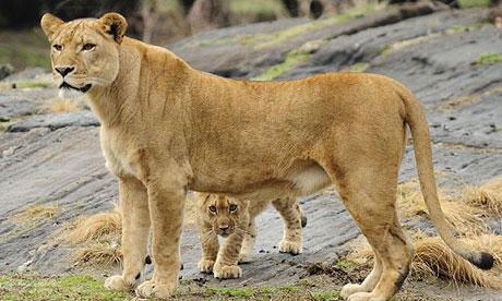 lioncub460