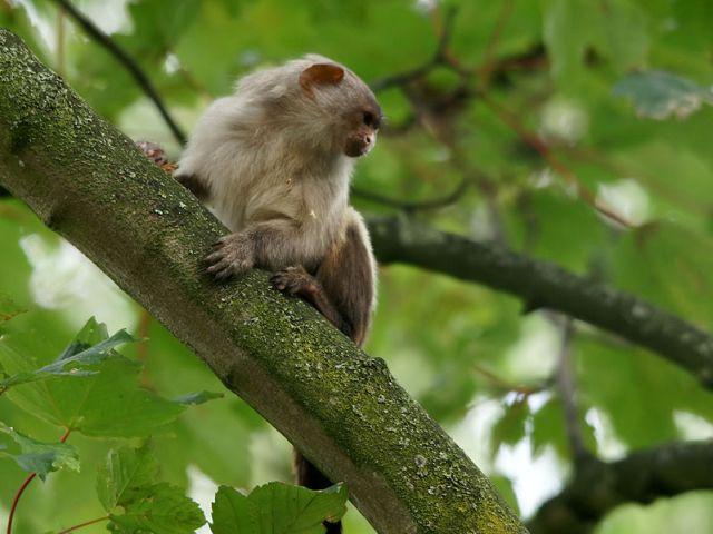 القرد الامريكي اسود ذيل
