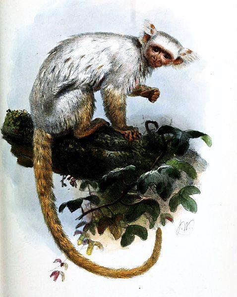 الذهبي الأبيض  القرد ألاميركي