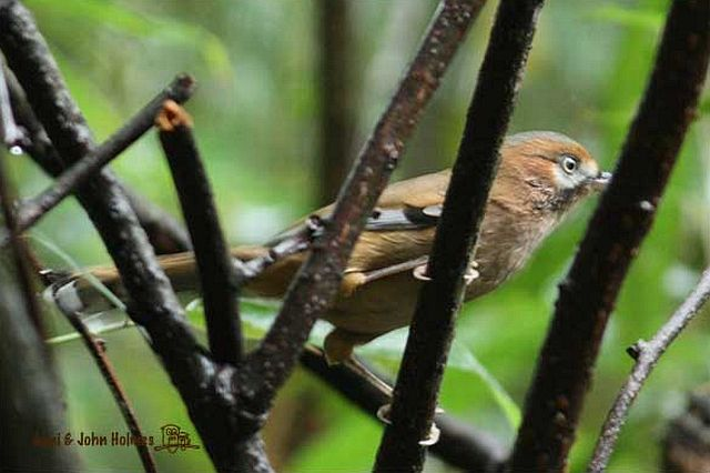 moustached_laughingthrush1