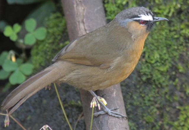 nilgiri_laughingthrush_sharadsridhar