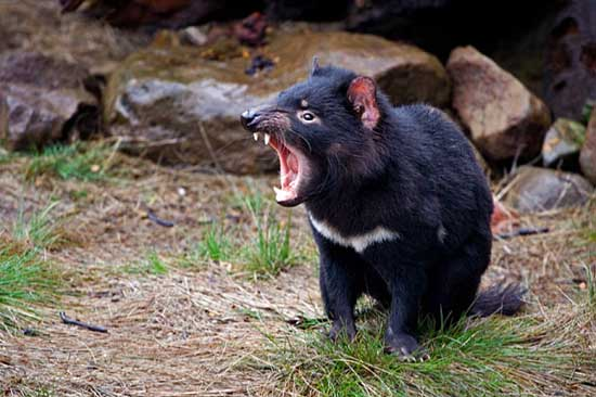 perth-zoo-tasmanian-devil-2