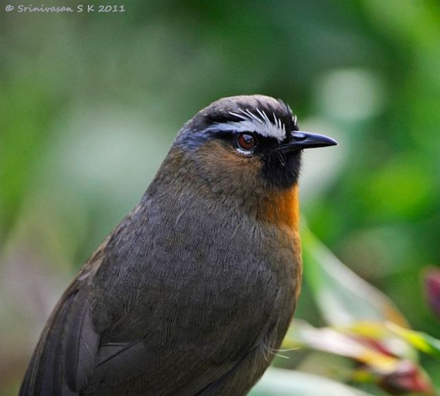 rufousbreasted_laughingthrush
