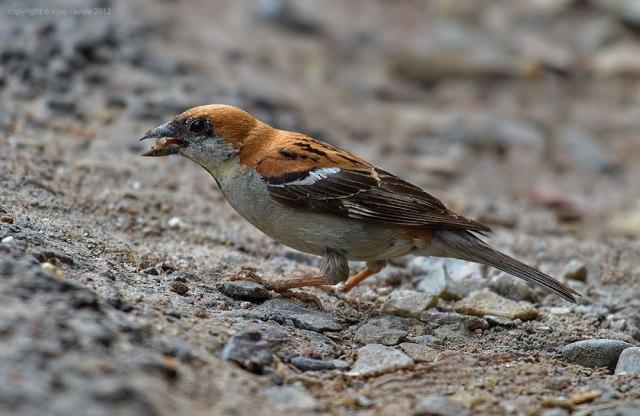 Russet-Sparrow-M-KWS0512