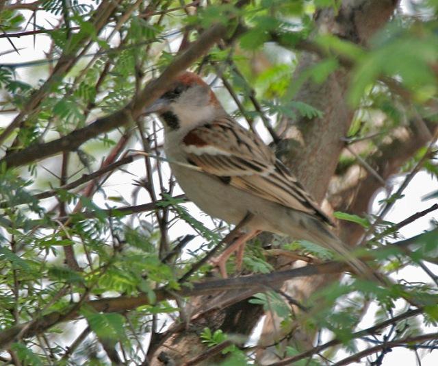 Sind_Sparrow