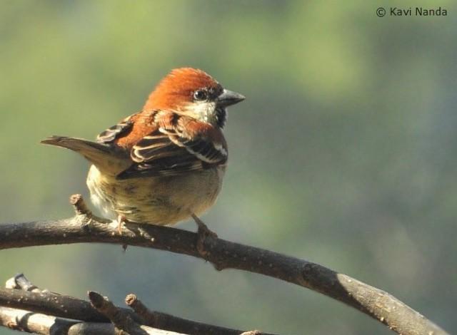 sparrowrussetsattal22122012_2