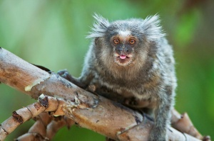 tufted_eared_marmoset_1