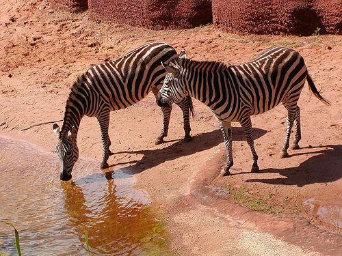 Zebras-at-Perth-Zoo
