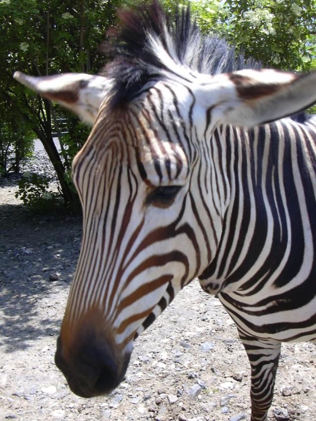 Zoo_UL,_Hartmann's_mountain_zebra