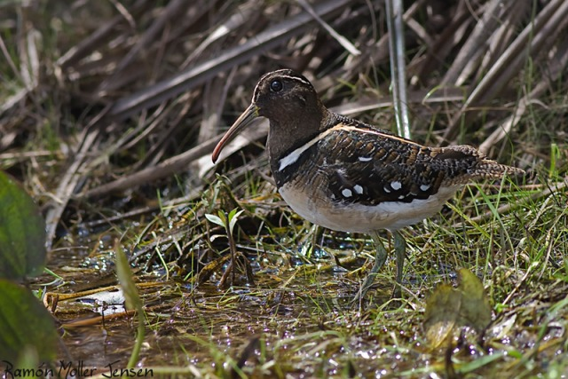 247-Aguatero-Nycticryphes-semicollaris-Soth-AmericanPainted-Snipe-24-11-08