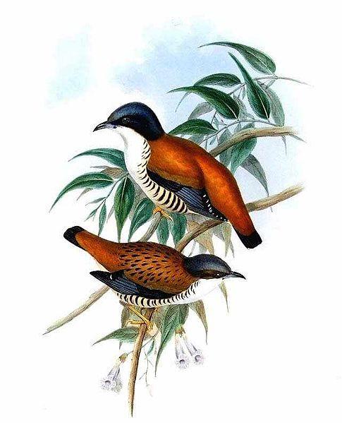 485px-Cutia_nipalensis_by_John_Gould