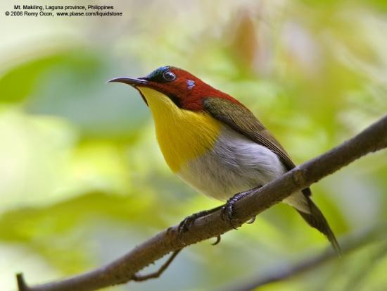 550px-Handsome_Sunbird