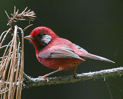 Red Warbler La Cumbre Oaxaca Mexico