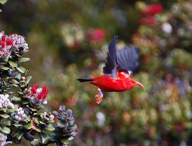 783px-Vestiaria_coccinea_flying_in_Hawaii