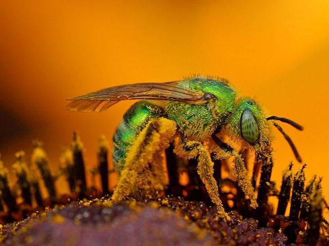 النحل الاخضر 800px-iridescent-green-sweat-bee1.jpg?w=640