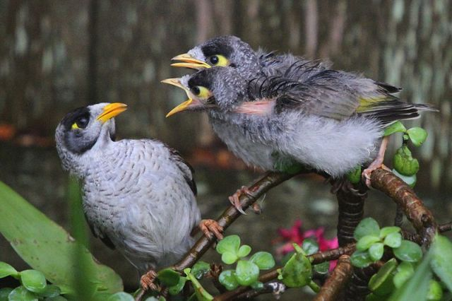 800px-Noisy_Miner_chicks