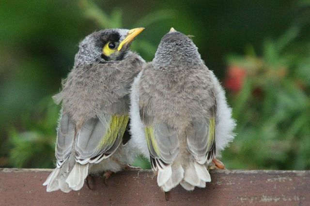 800px-Noisy_Miner_siblings