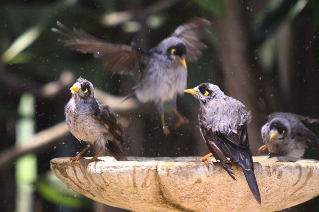 800px-Noisy_Miners_bathing