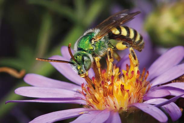 Male of Agapostemon texanus