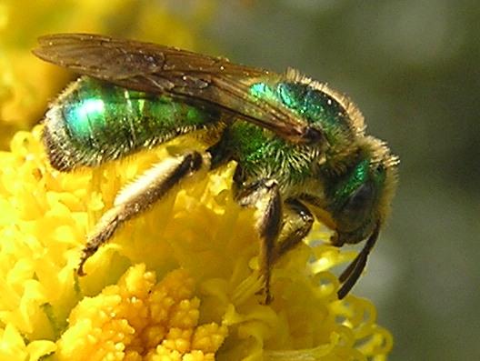 النحل الاخضر agapostemon4.jpg?w=6