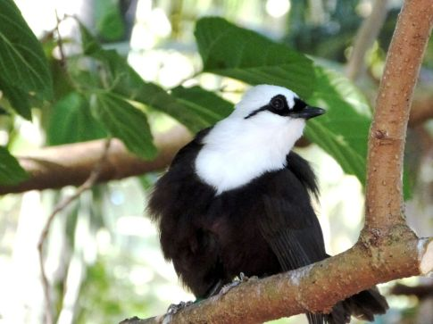 black-and-white-sumatran-77