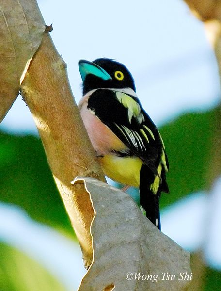 black_and_yellow_broadbill_f_5926_wts