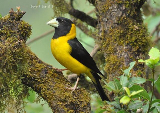 black_and_yellow_grosbeakmale3aps