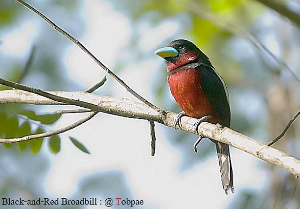 blackandred_broadbill0_sct