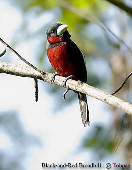 blackandred_broadbill1_sct