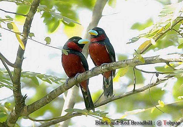 blackandred_broadbill2_sct