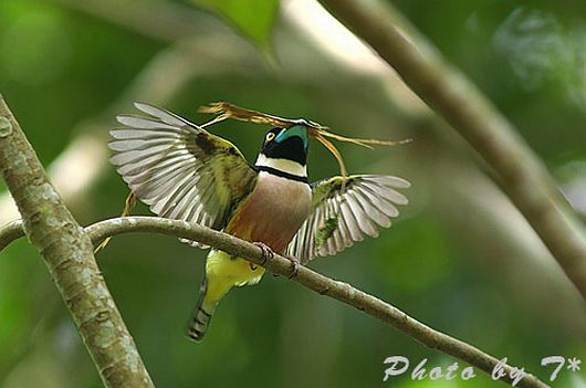 blackandyellow_broadbill0_bk