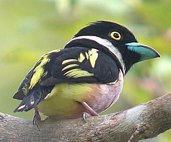 blackandyellow_broadbill_pm