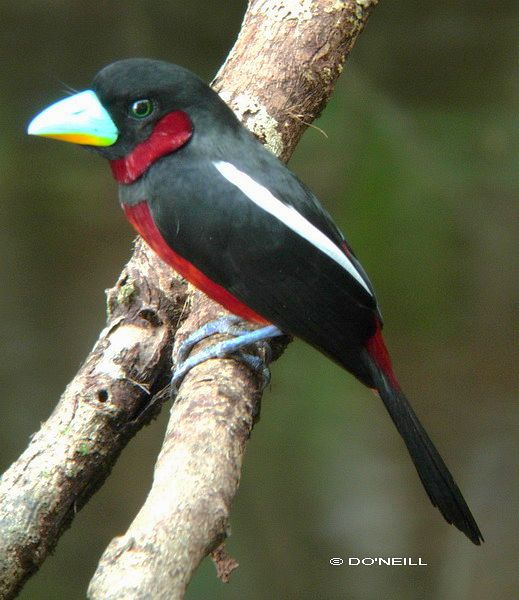 blackred_broadbill_17678don