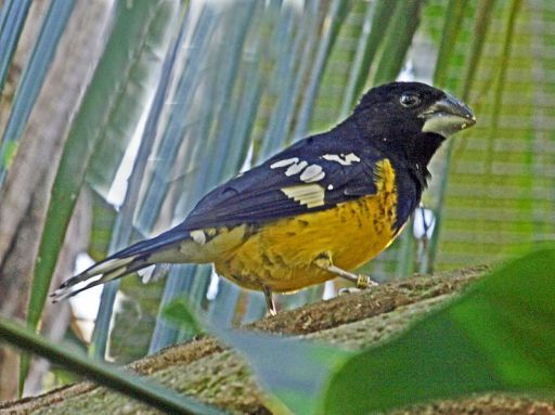 أسود المدعومة Black-backed_Grosbeak_RWD2