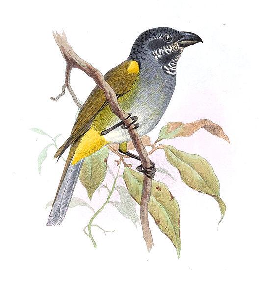 اصفر الكتف-PitylusHumeralisSmit