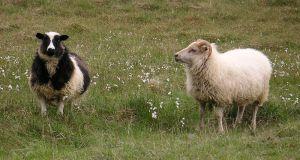 الآيسلندية-Icelandic_sheep2