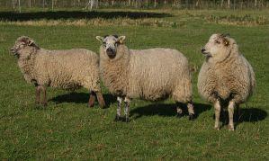 الاسكتلندي-Shetland_-_Hebridean_lambs