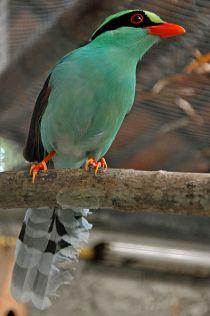 العقعق الأخضر المشتركة-Cissa_chinensis_-Chiang_Mai_Zoo,_Thailand-8a