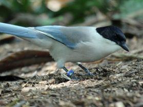 العقعق الأزرق سري لانكااSinharaja_Sri_Lanka_Blue_Magpie_1